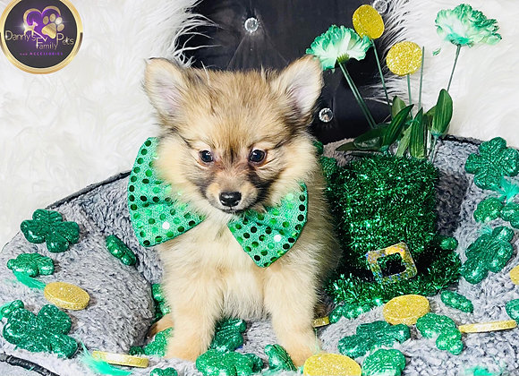 Blake - Male | 9-Weeks Old | Pomeranian