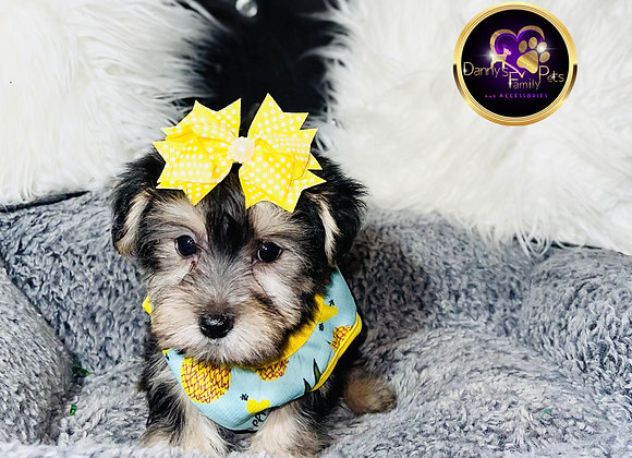 Mia Mia- Female | 8-Weeks Old | Morkie