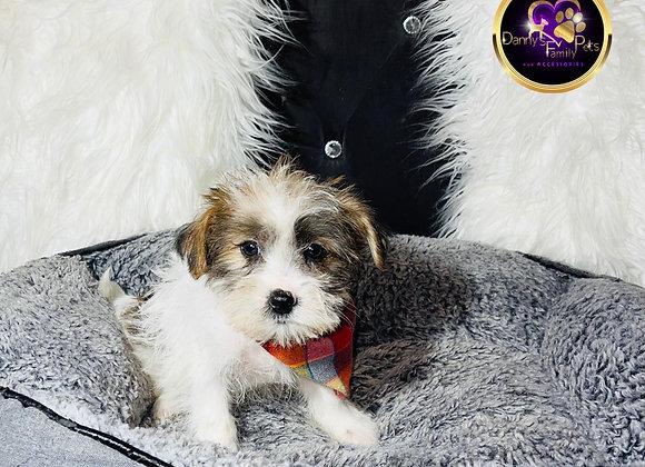 Brody - Male | 9-Weeks Old | Shorkie Tzu