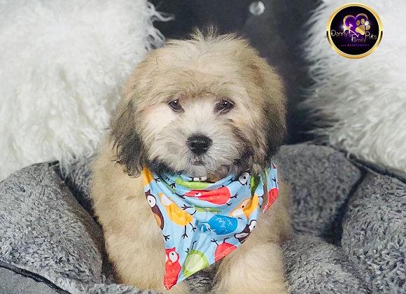 Rainbow- Male | 15-Weeks Old | Shichon
