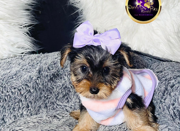 Alana- Female | 8-Weeks Old | Yorkshire Terrier