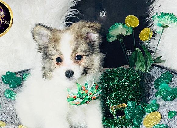 Jordan - Male | 11-Weeks Old |Pomeranian