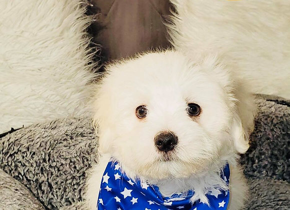 Mikey - Male | 9-Weeks Old | Maltese
