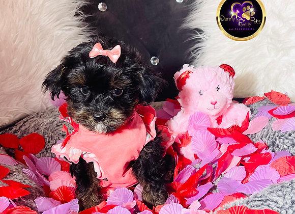 Katey- Female | 8-Weeks Old | Yorkipoo