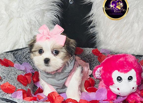 Lila - Female | 10-Weeks Old | Malshi