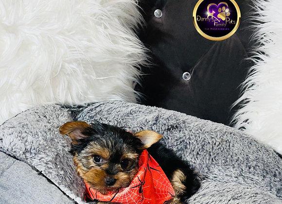 Mack - Male   8-Weeks Old   Yorkshire Terrier