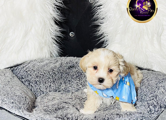 Charlie - Male | 8-Weeks Old | Shichon