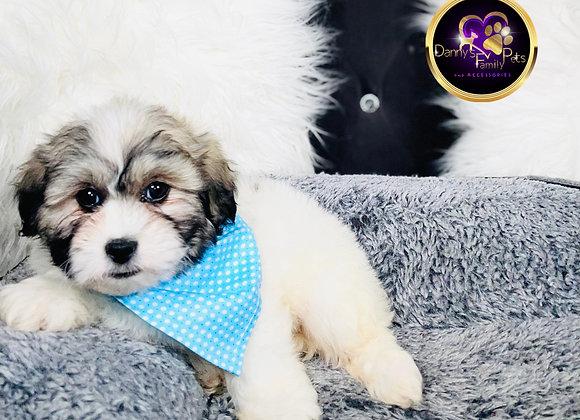 Ash- Male | 8-Weeks Old | Shichon