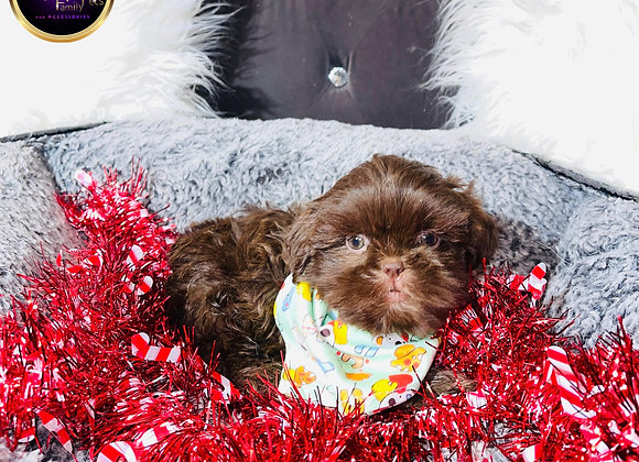 Toby- Male | 8 -Weeks Old | Shih Tzu