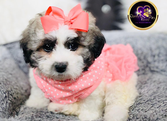 Willow- Female | 8-Weeks Old | Shichon
