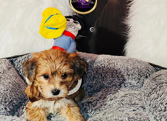 Koby - Male | 8-Weeks Old | Yorkiechon