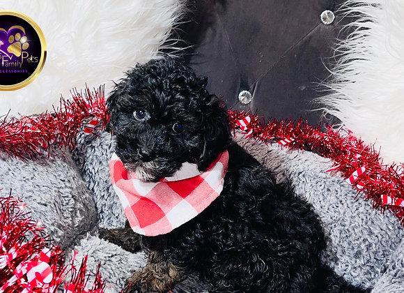 Baylor - Male | 9-Weeks Old |Teddy Poo