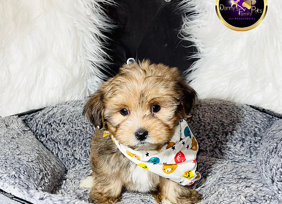 Brownie- Male | 9-Weeks Old | Morkie