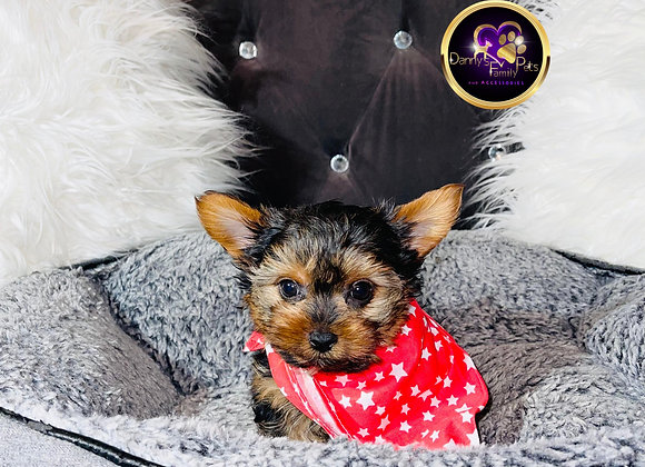 Royce - Male | 8-Weeks Old | Yorkshire Terrier