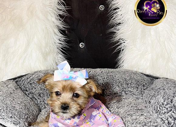Mia - Female | 10-Weeks Old | Shorkie Tzu