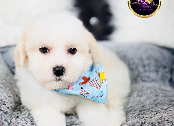 Grant- Male | 8-Weeks Old | Shichon