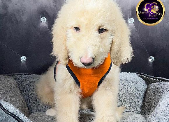 Manny- Male | 9-Weeks Old | Goldendoodle