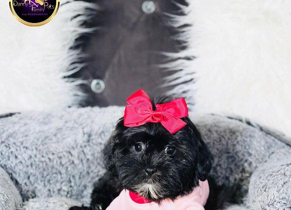 Tootsie- Female | 11-Weeks Old |Shichon