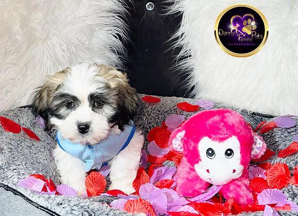 Cullen - Male | 9-Weeks Old | Teddy Poo