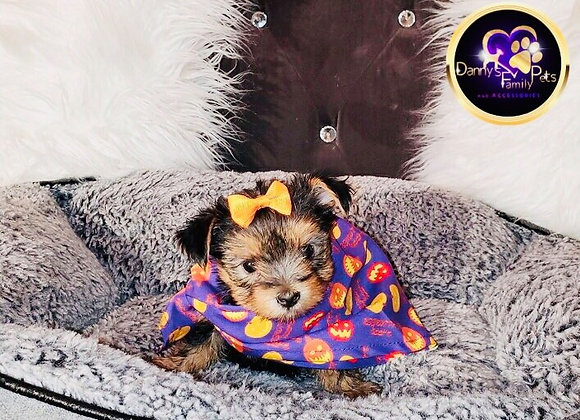 Carrie - Female | 9-Weeks Old | Yorkshire Terrier