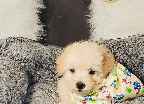 Riley - Male | 8-Weeks Old | Maltipoo