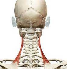 首から肩にかけての凝りの原因(首凝りその1)