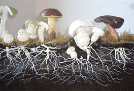 In fact, a mushroom isn't even something that grows independently. It's just the fruiting part of a hidden organism called a mycelium. The mycelium is a weblike structure that grows underground or inside the pores of decaying wood, and it can grow very large. A mycelium that grows in the Blue Mountains in Oregon measures 2.4 miles across and is arguably the largest living organism on Earth.