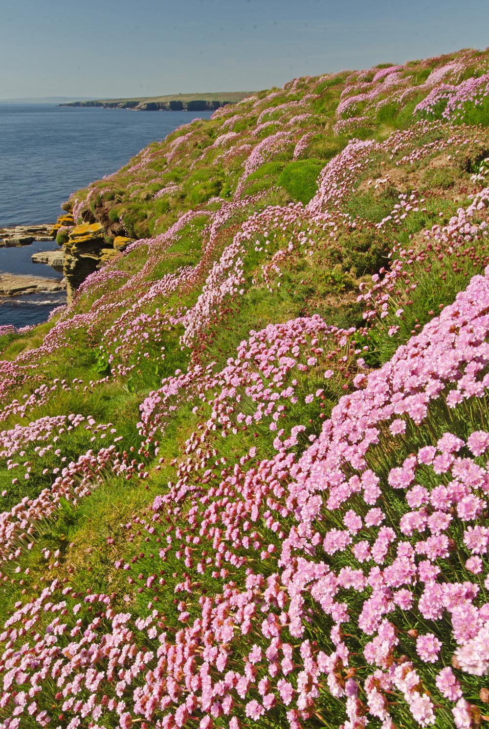 Sea Pink Drift