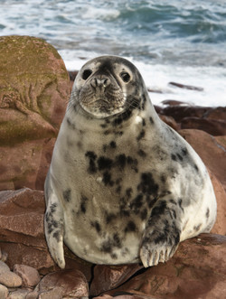Newly Moulted Seal