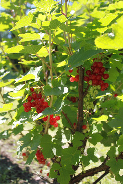 For Cumberland Sauce we grow our own