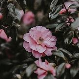 camellia wallpaper .jpg