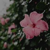 hibiscus wallpaper.jpg