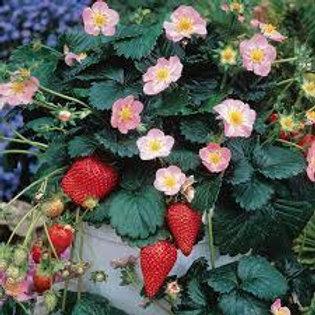 """Strawberry 12"""" Hanging Basket"""
