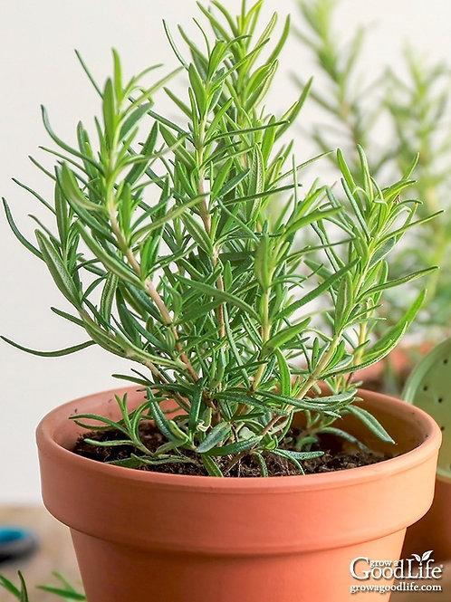 """Rosemary 4"""" Pot"""