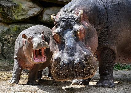Des hippopotames en Louisiane ? En 1910, c'est presque arrivé.
