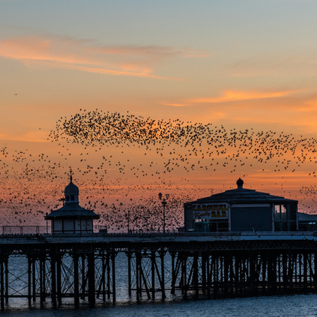 #23   Cock-up, Conspiracy or Murmuration?