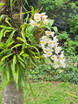 Kamala Beach Estate Orchids