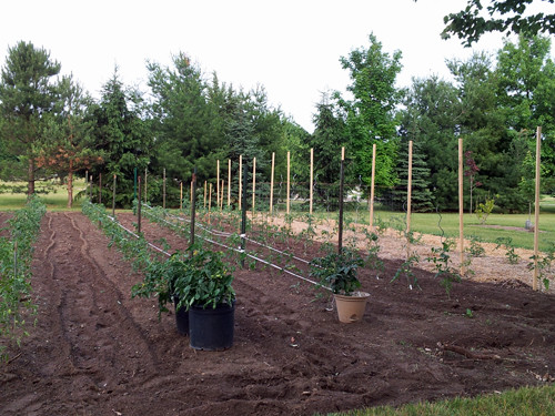 Tomatoes set out in the garden