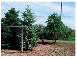 Pine trees in center of garden