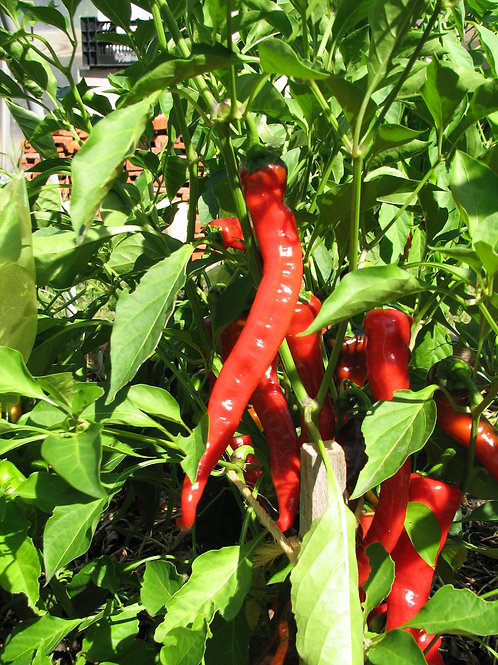 CAYENNE, Large Thick