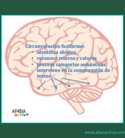 El giro fusiforme: reconociendo el mundo que nos rodea