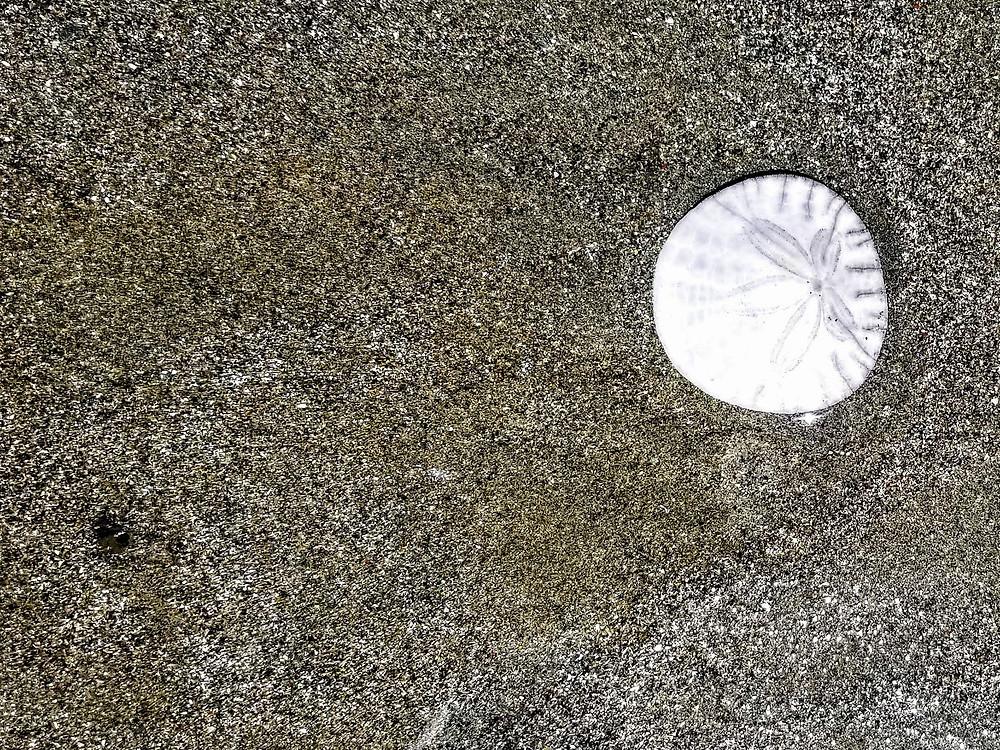 Sand dollar in Morro Bay, CA