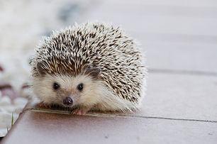 hedgehog-1215140_1920.jpg