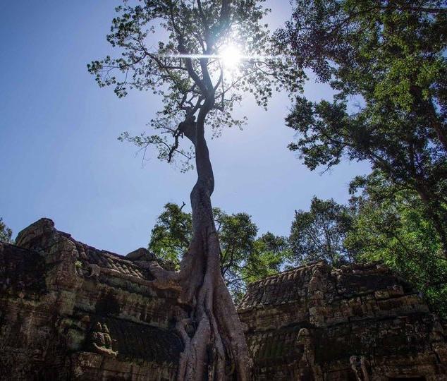 Strangler Tree, Angkor Wat