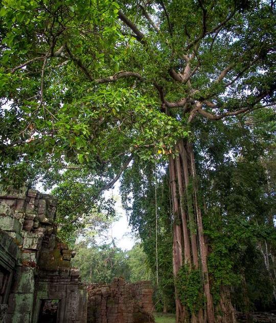 Strangler Trees, Angkor Wat