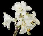 Lillies brancos