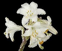 Lillies blancos