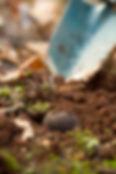 Buy fresh Manjimup truffles from Pottinger Truffles Australia
