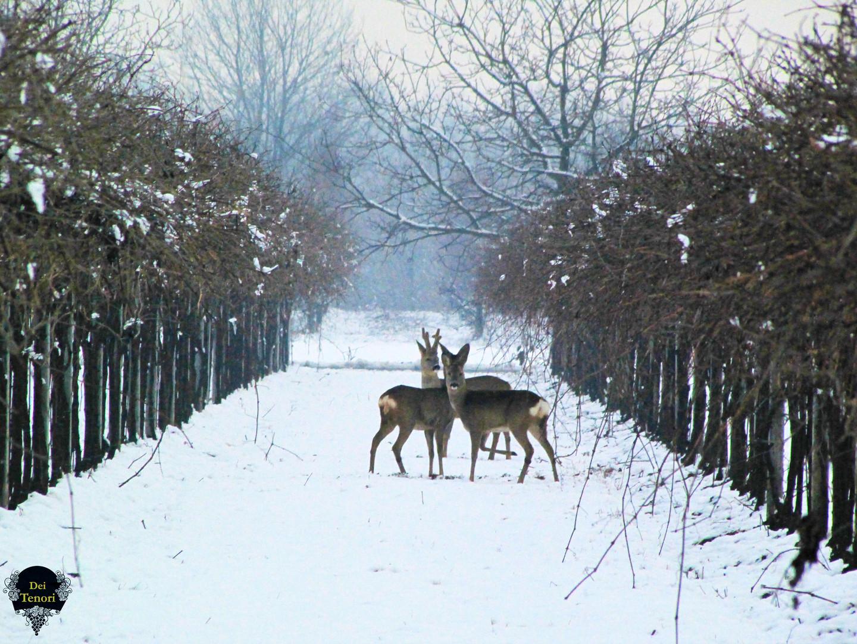 Caprioli Tra la neve scatto 3