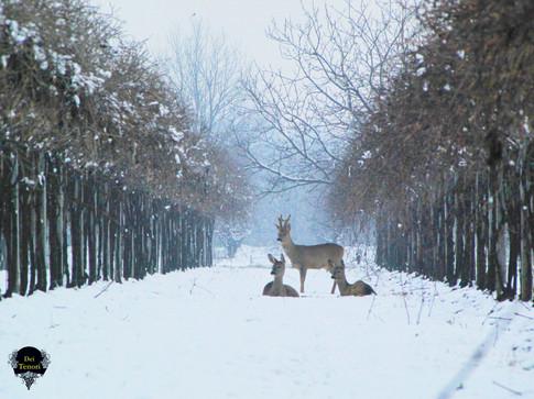 Caprioli tra la neve delle Tenute
